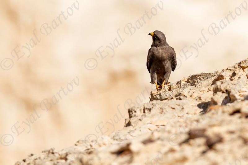 1.Sooty Falcon (Falco concolor) - בז שחור