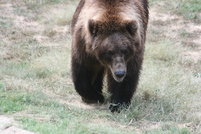 Grizzly Bear (new exhibit)