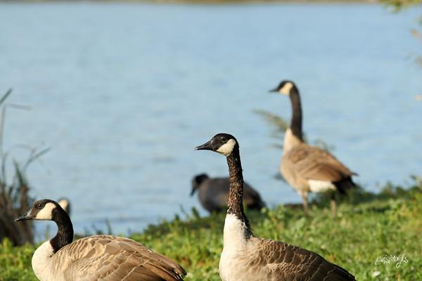 Wascana Park Birds