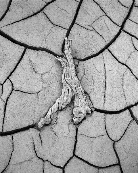 Limb in Mud Cracks B&W.jpg