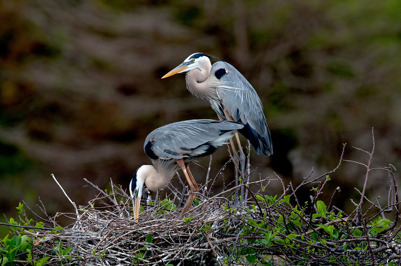 Great Blue Heron_5936.jpg