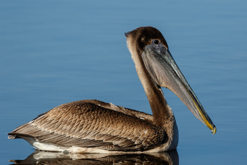 Brown Pelican-7888.jpg