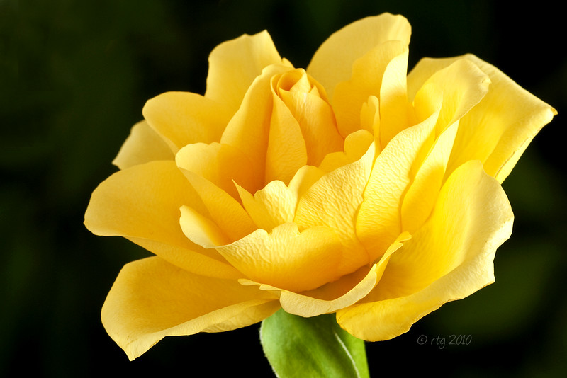Flower_Rose_Yellow_0989w.jpg