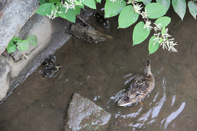 Girl with Great Grandmother, Feeding Ducks, Bridge, Broad Street, Tamaqua (6-19-2012)