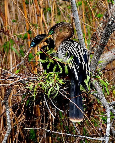 79 Anhinga Nest Building Everglades.jpg