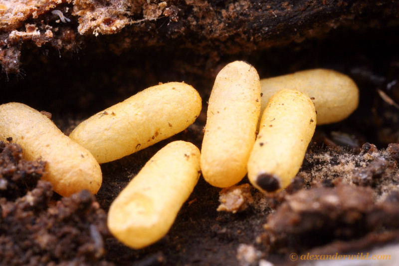 The distinctive yellow pupae of Ponera pennsylvanica, a common woodland ant in eastern North America.