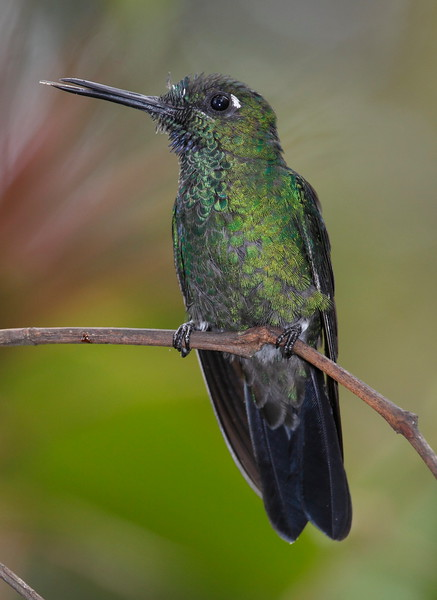 Green Crowned Brilliant Ecuador
