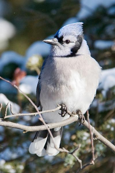 Jay - Blue - Arrowhead Trail - Cook County, MN