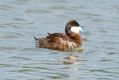 Rudy Ducks