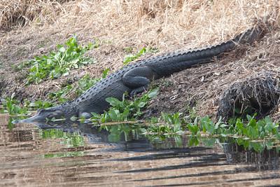untitled20110202_Alligator MyakkaLakeFL_7I2B4361_11-02-02