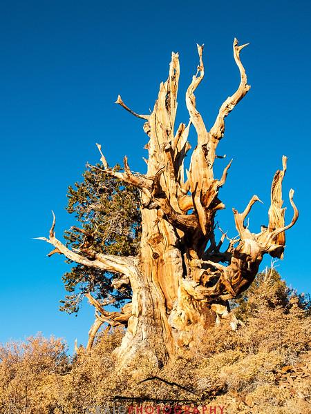 Bristlecone Pine forest California 1
