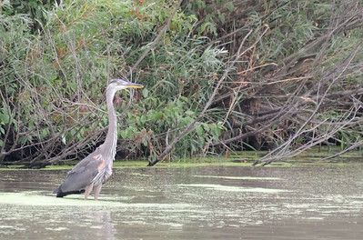 Hillman Marsh birds