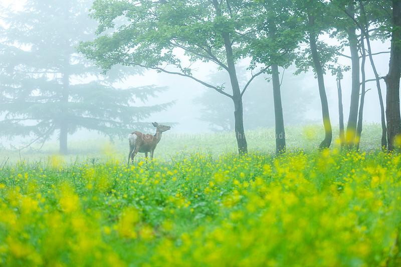 エゾシカ_北海道_ウトロ.jpg