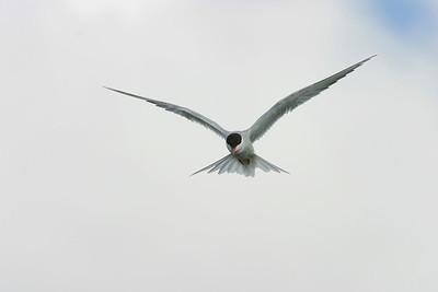 Fisktärna – Common Tern