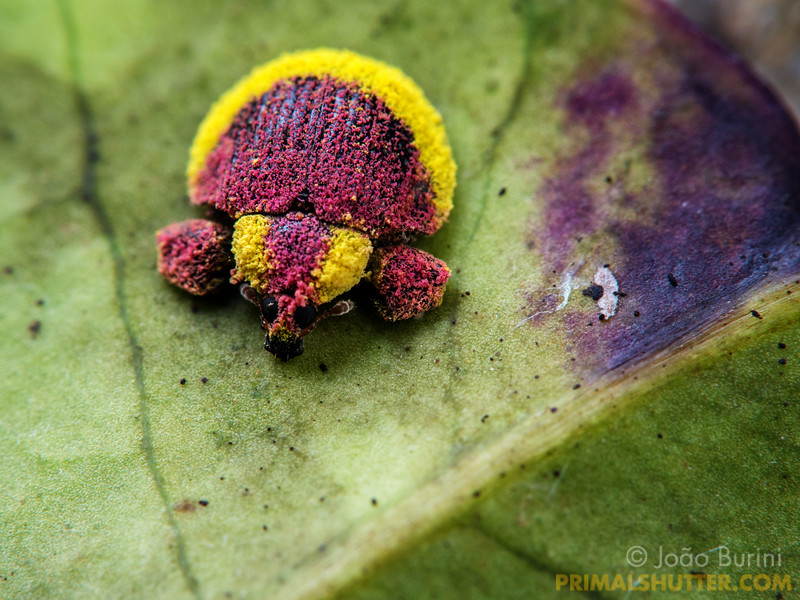 Colorful pink and yellow weevil