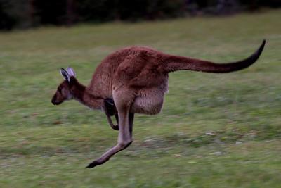 Kangaroos & Critters
