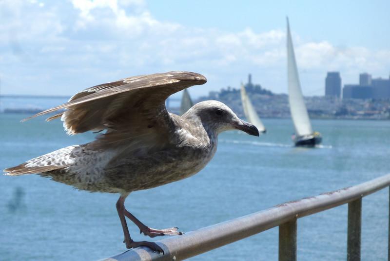 Golden Gate Gull.JPG