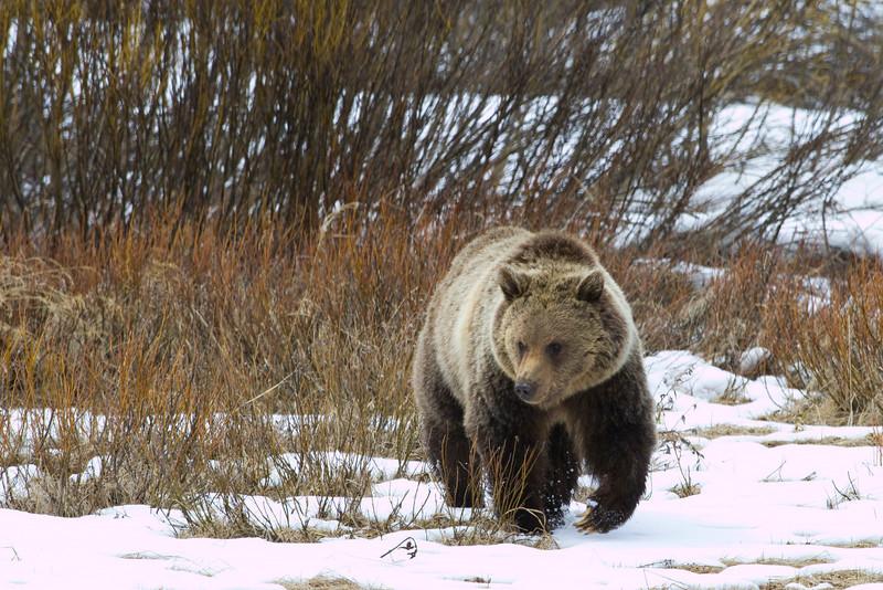 grizzly bear0197.jpg