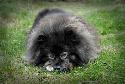 Suomenlapinkoira Inka   Hunden Inka   The dog