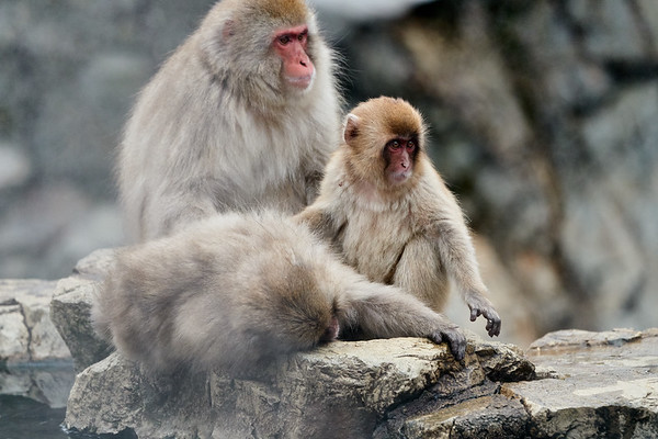 Snow Monkeys in the Spa Japan 2019