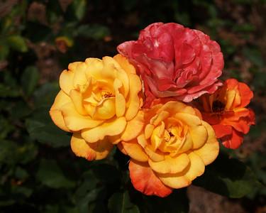 Roses - Tyler, Texas USA