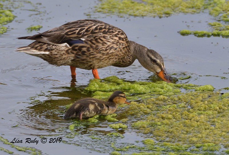 Mallard Mom and youngster  - 7/14/2019 - Poway Creek