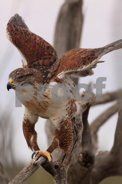 Ferruginous hawk 6966.jpg