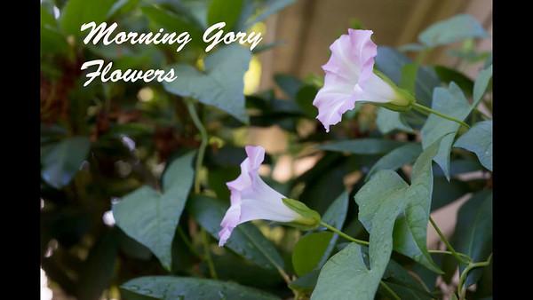 Morning glory 3