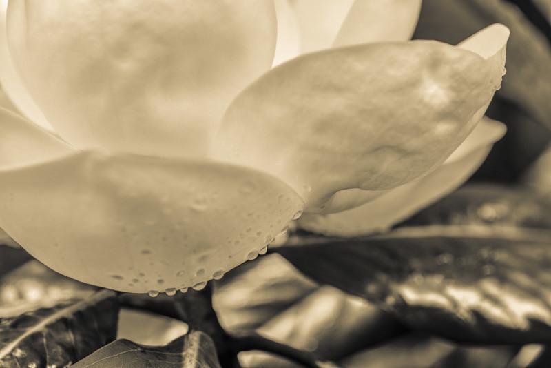 Magnolia 20