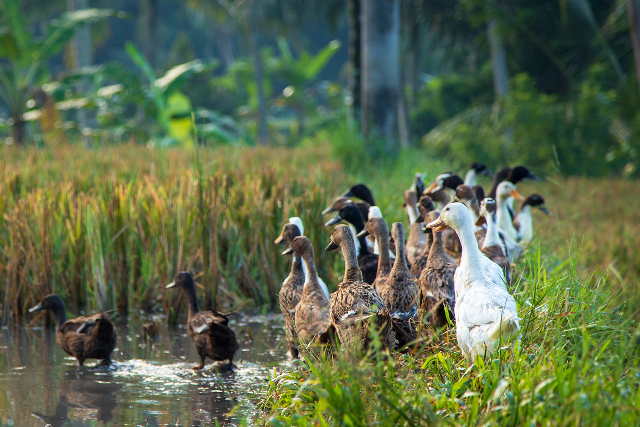 Photos of Ducks Cleaning Rice Fields in Bali, Indonesia