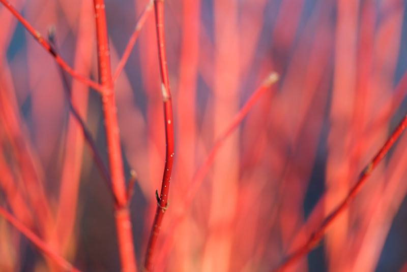 red-dogwood.jpg