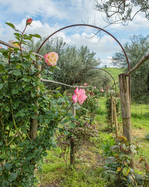 Farmhouse Rose Garden , Podere Spedalone , Tuscany