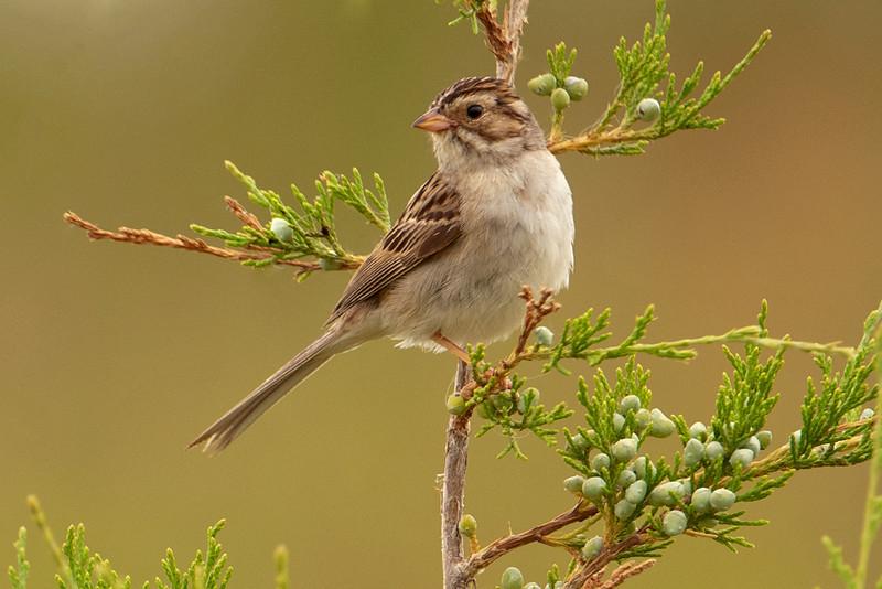 Sparrow - Clay-colored - 140th St Marsh - Dakota County - MN - 01