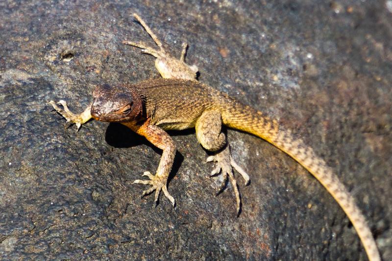 Female Española Lava Lizard