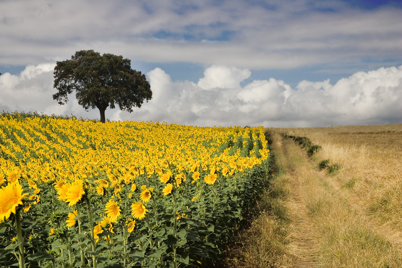Andalusian landscape with cultivated sunflowers and remaining holm oaks from a former Mediterranean forest.