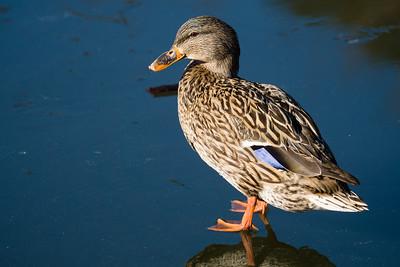 North Chagrin Duck Pond 2/18/17