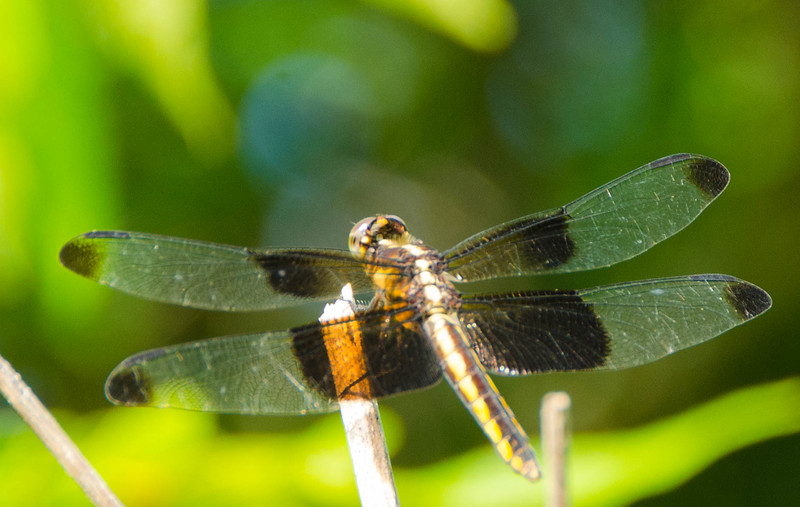 Translucent_Wings.jpg