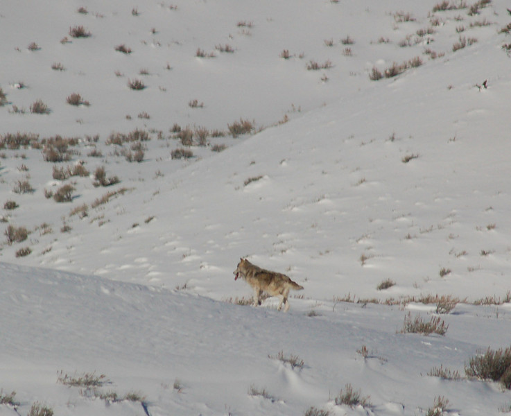 "One of the gray wolves being observed during winter of '08. Biologists do not know origin of this wolf and another gray wolf. A black female Druid wolf was being observed in January ""flirting"" with the alpha of this pair of grays."