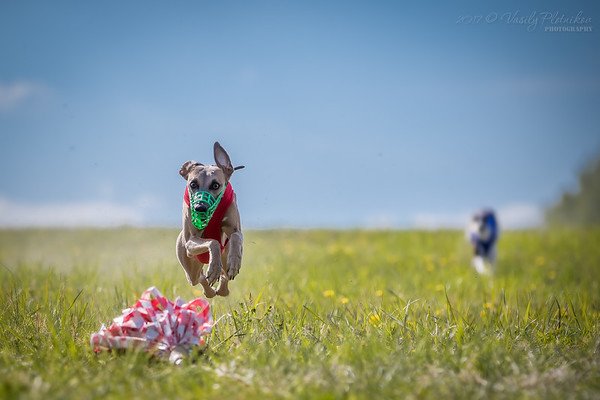 2017/05/14 Lure Coursing, Tula, Whippet