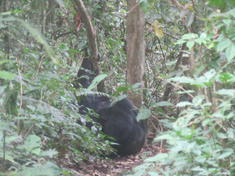 023_Nyungwe National Park. Chimpanzee.JPG