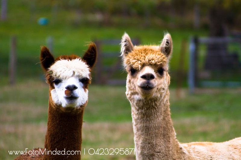 These Lamas were as curious as me when I took my cameras near the fence at Tasmania's Huon Valley. Initially they hesitated but they slowly started walking towards me.  This couple gave a very nice pose as if they are newly married :)