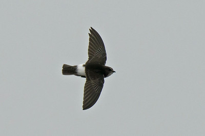 Bird Photos: Swallows, Martins and Swifts