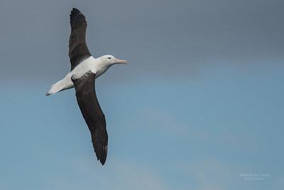 Northern Royal Albatross (Diomedea sanfordi) EN