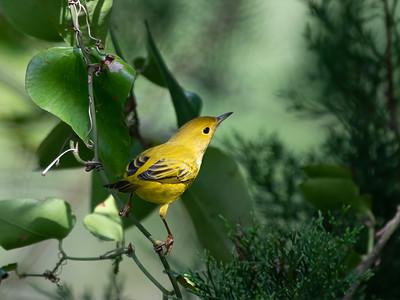 Yellow Warbler, 24 Sep 2021