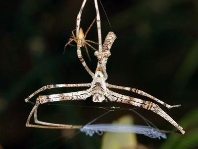 Deinopidae - Net-casting Spiders