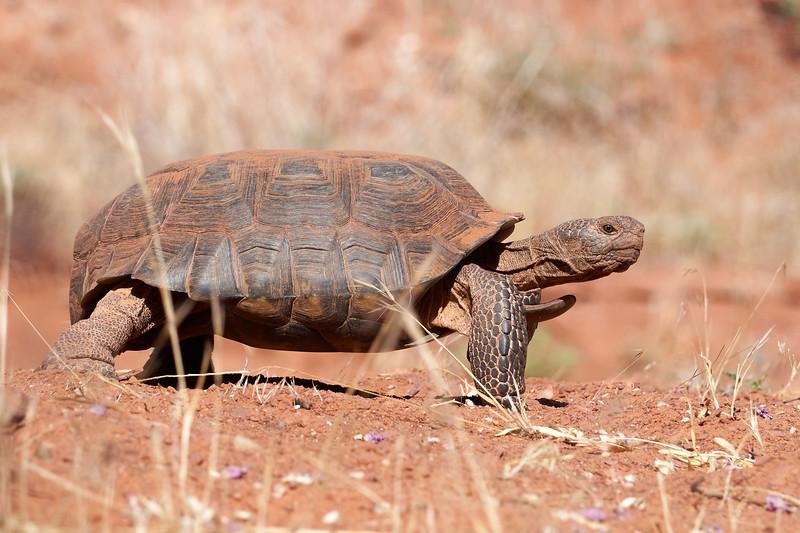 Desert Tortoise in Snow Canyon
