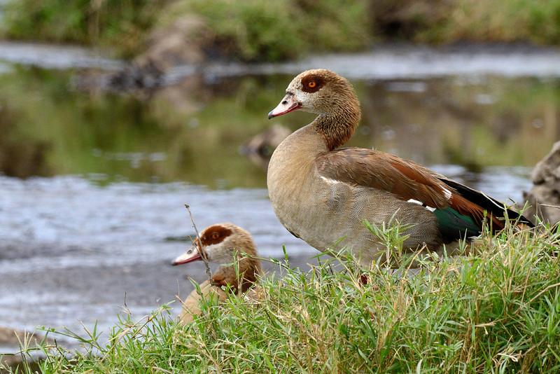 Egyptian-Geese.jpg