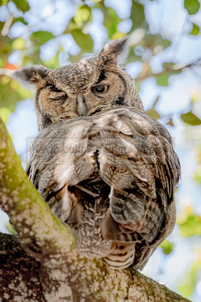 Great Horned Owl Wink