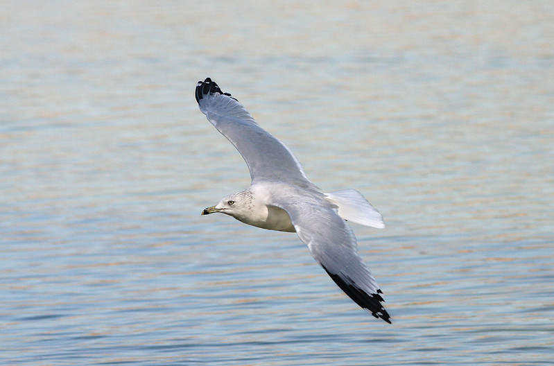 1857 Gull in Flight.jpg