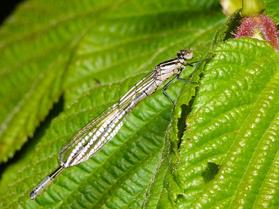 Coenagriidae